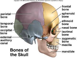 ukŁad kostny - forum odżywianie i odchudzanie sfd, Sphenoid